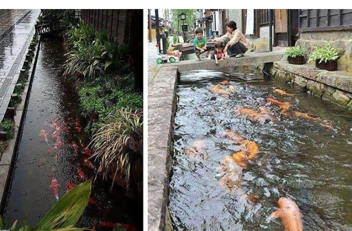 В японских дренажных каналах можно встретить рыб – ВИДЕО